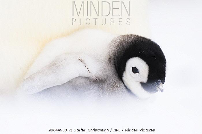 Emperor penguin (Aptenodytes fosteri) chick resting in parents brood pouch, Antarctica.