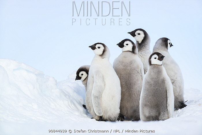 Emperor penguin (Aptenodytes fosteri) chick creche, standing together, Atka Bay, Antarctica. December. Bookplate.