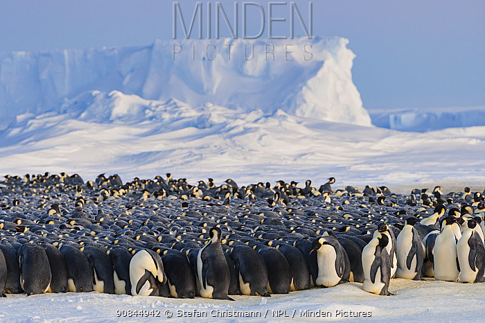 Emperor penguins (Aptenodytes fosteri) colony huddling together, Antarctica. July.