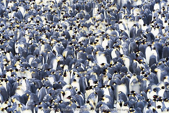 Emperor penguin (Aptenodytes fosteri) huddle dispersing, Atka Bay, Antarctica. August. Bookplate.