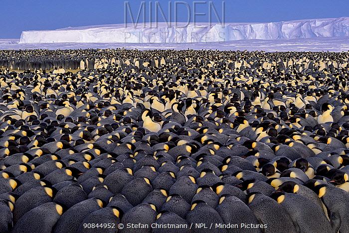 Emperor penguins (Aptenodytes fosteri) colony huddling, Antarctica.
