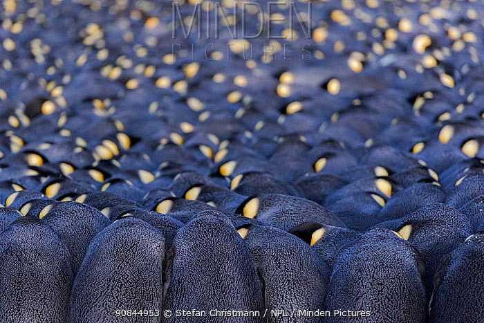 Emperor penguin (Aptenodytes fosteri) males huddled together, polar night, Atka Bay, Antarctica. June. Bookplate.