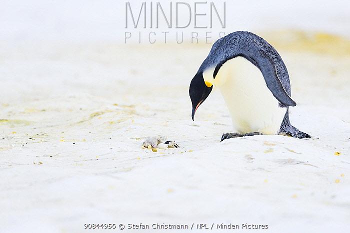 Emperor penguin (Aptenodytes fosteri) male investigating a dead chick, Atka Bay, Antarctica. August. Bookplate.