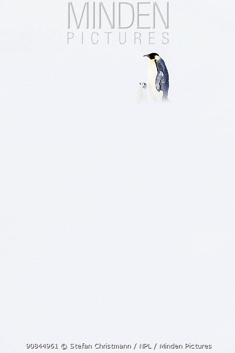 Emperor penguin (Aptenodytes fosteri) parent and chick, aged 10 weeks, Atka Bay, Antarctica. October. Bookplate.