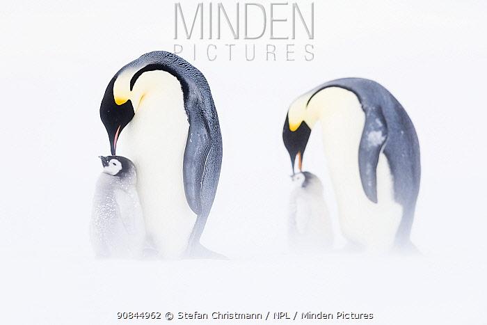 Emperor penguins (Aptenodytes fosteri) two adults feeding chicks, age 6-8 weeks, Antarctica. Bookplate.