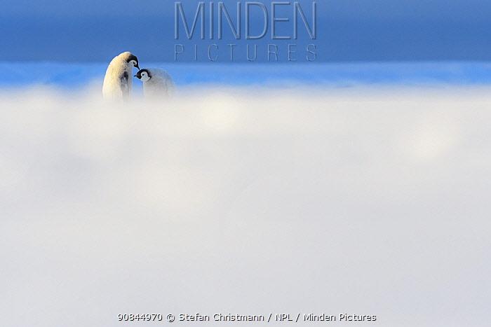 Emperor penguin (Aptenodytes fosteri) chicks, aged 16 weeks interacting, Atka Bay, Antarctica. December. Bookplate.