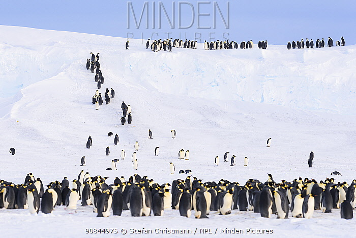 Emperor penguins (Aptenodytes fosteri) climbing steep ice ramps to get back onto the stable ice shelf, Atka Bay, Antarctica. September. Bookplate.