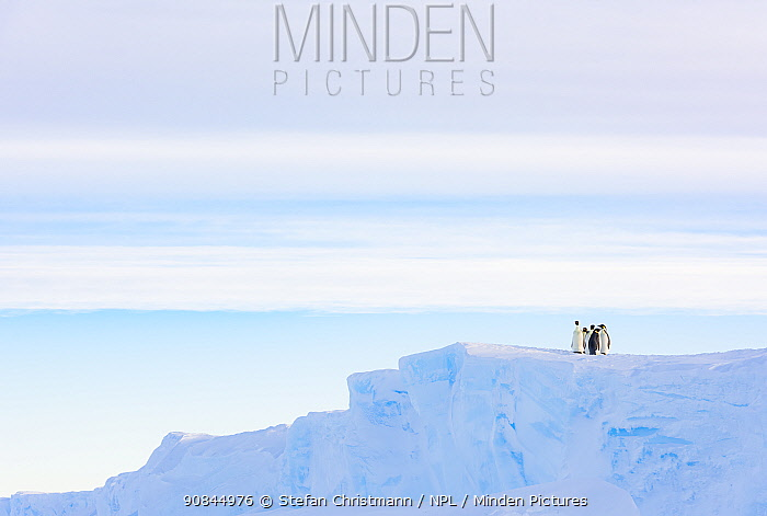 Emperor penguin (Aptenodytes fosteri) group standing on an ice shelf, Atka Bay, Antarctica. September. Bookplate.