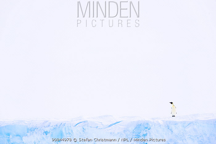 Emperor penguin (Aptenodytes fosteri) standing on ice shelf, Atka Bay, Antarctica. September. Bookplate.