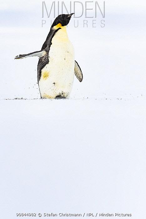 Emperor penguin (Aptenodytes fosteri) moulting, Atka Bay, Antarctica. January. Bookplate.