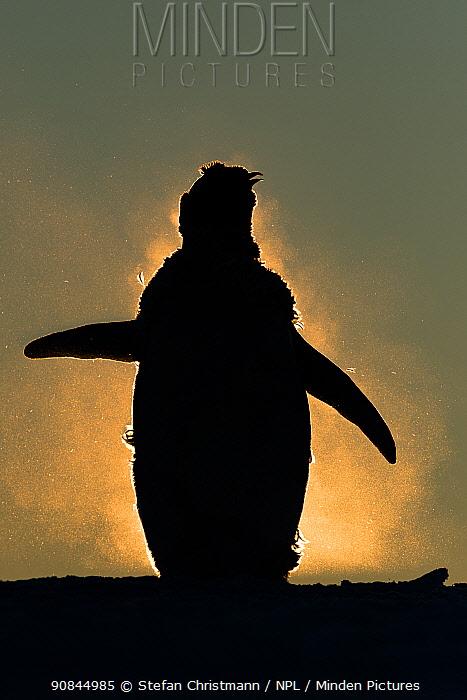 Emperor penguin (Aptenodytes fosteri) chick moulting, Atka Bay, Antarctica. January. Bookplate.