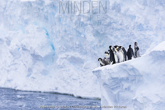 Emperor penguin (Aptenodytes fosteri) fledglings, some moulting, aged 20-24 weeks, on the edge of an ice shelf, waiting to jump into the sea, polar summer, Atka Bay, Antarctica. January. Bookplate.