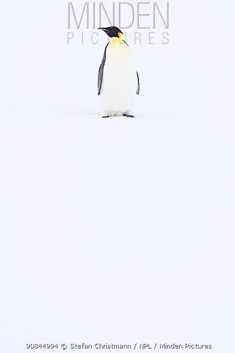 Emperor penguin (Aptenodytes fosteri) portrait, Atka Bay, Antarctica. April. Bookplate.