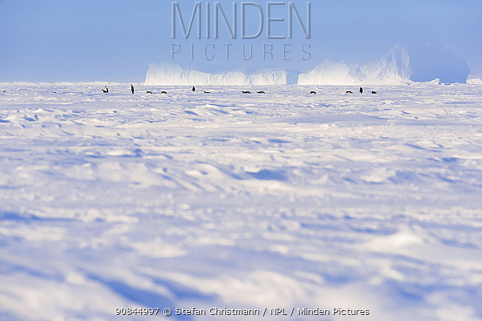 Emperor penguin (Aptenodytes fosteri) females in the distance leaving the colony and heading to sea to feed, Atka Bay, Antarctica. August. Bookplate.