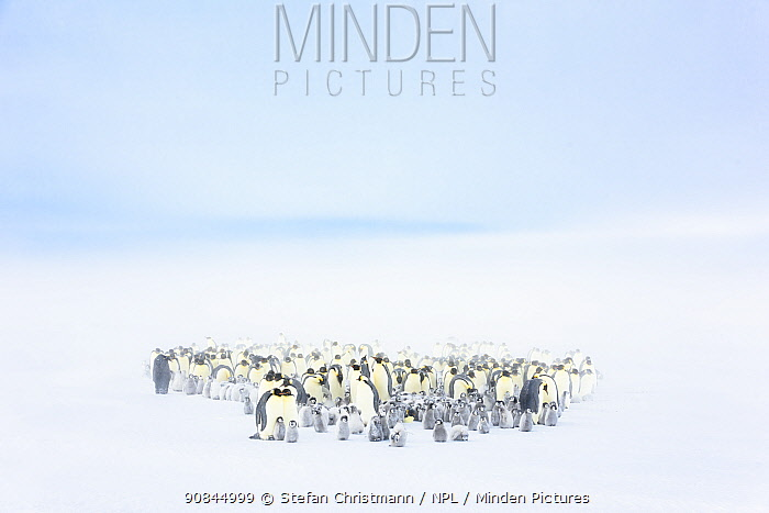 Emperor penguin (Aptenodytes fosteri) colony with chicks aged 9-12 weeks, Atka Bay, Antarctica. October. Bookplate.