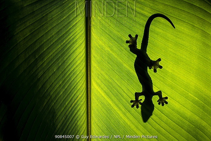 Turnip-tailed gecko (Thecadactylus rapicauda) silhouetted against banana leaf, Arenal, Costa Rica