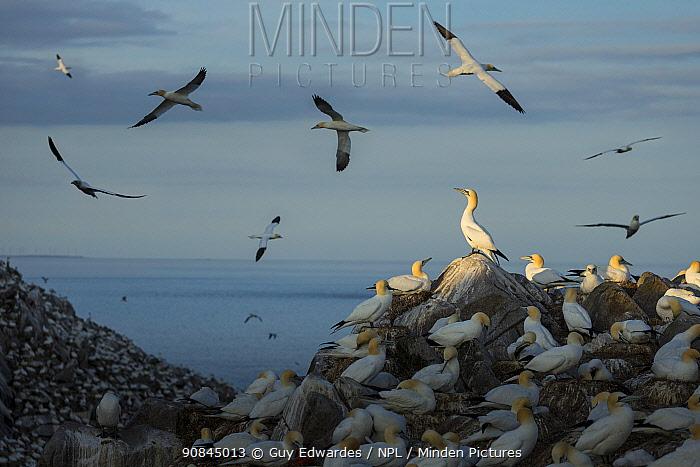 Northern Gannet (Morus bassanus) colony at dusk on Great Saltee Island, Co. Wexford, Ireland (composite image)