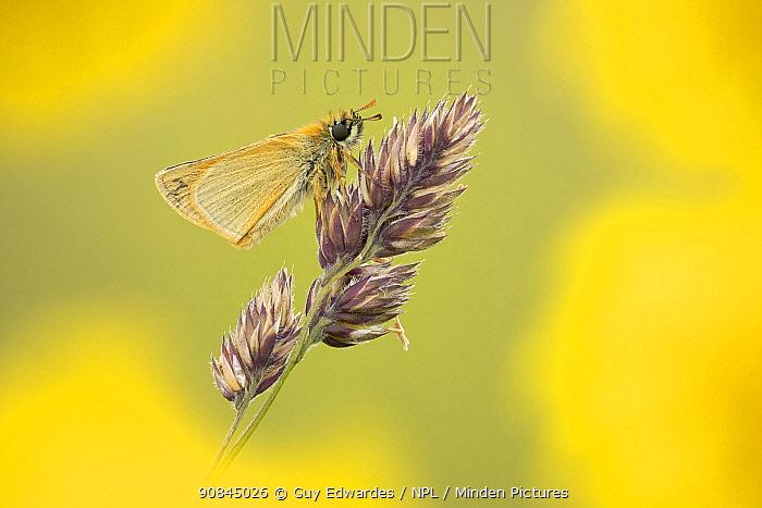 Small Skipper (Thymelicus sylvestris), Badbury Rings, Dorset, England, UK