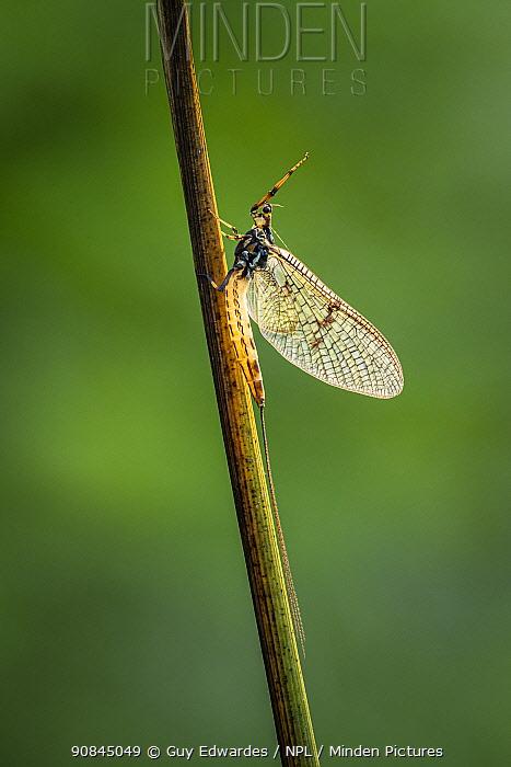 Grey drake mayfly (Ephemera danica), Powerstock Common, Dorset, England, UK, May 2020.