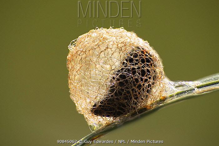 Cocoon of weevil (Hypera rumicis), The Golden Net Ball, Dorchester, Dorset, England, UK, June.