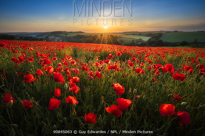 Field full of red Poppies (Papaver rhoeas) at sunrise, Forston, Dorset, England, UK, June.