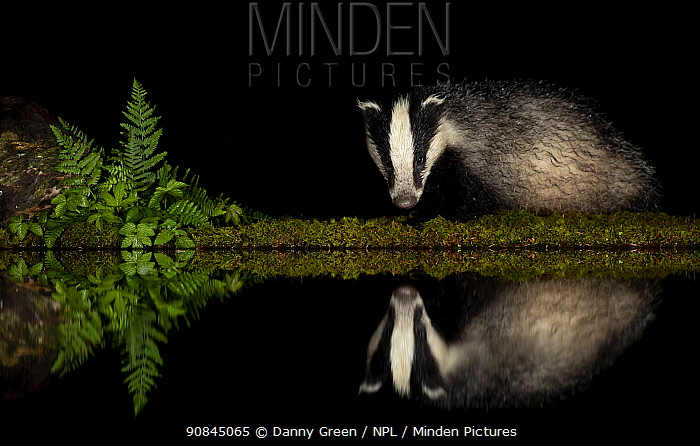 European badger (Meles meles) and reflection woodland pond at night. Scotland, UK. August.