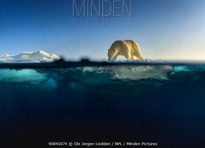 Polar bear (Ursus maritimus) walking on drifting sea ice. Svalbard, Norway.
