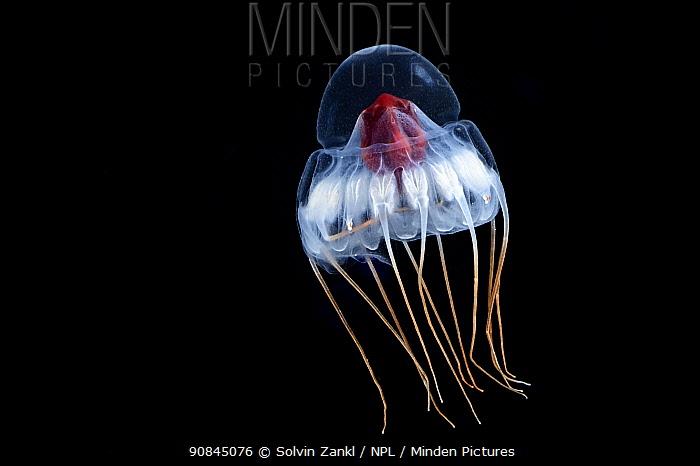 Deepsea jellyfish (Periphylla periphylla) juvenile, jellyfish, Trondheims fjord, Norway, Atlantic ocean