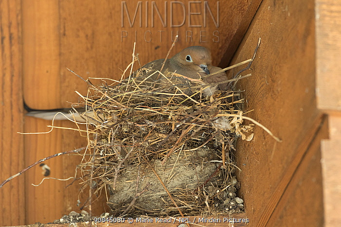 Mourning dove (Zenaida macroura) incubating on nest in corner of a building. The dove nest has been built on top of two old nests (possibly of American Robin and/or House Finch) from previous years, Ithaca, New York, USA, March.