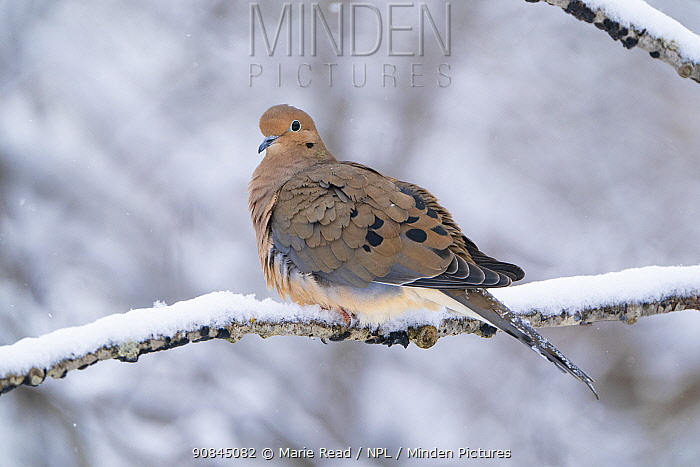 Mourning dove (Zenaida macroura) perched on snow-covered branch in winter, Ithaca, New York, USA, February.