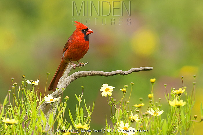 Northern cardinal (Cardinalis cardinalis) male in a late summer garden setting, Coreopsis sp. flowers around the perch, New York, USA, August.