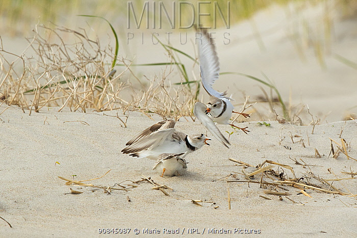 Piping Plovers (Charadrius melodus), three during aggressive territorial interaction near nest site on beach in spring, northern Massachusetts coast, USA. April.