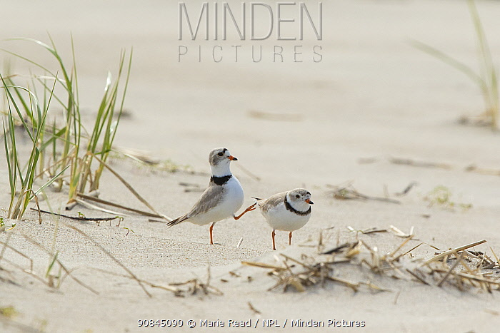 Piping plovers (Charadrius melodus), male approaching female while performing goose-stepping display before copulation, near nest site on beach, northern Massachusetts coast, USA, April.
