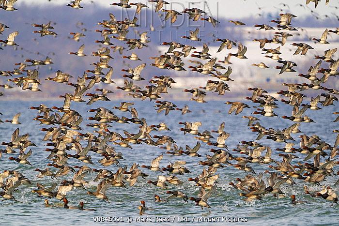 Redhead / Red headed pochard duck (Aythya americana) large flock taking flight in winter, Cayuga Lake, Aurora, New York, USA.
