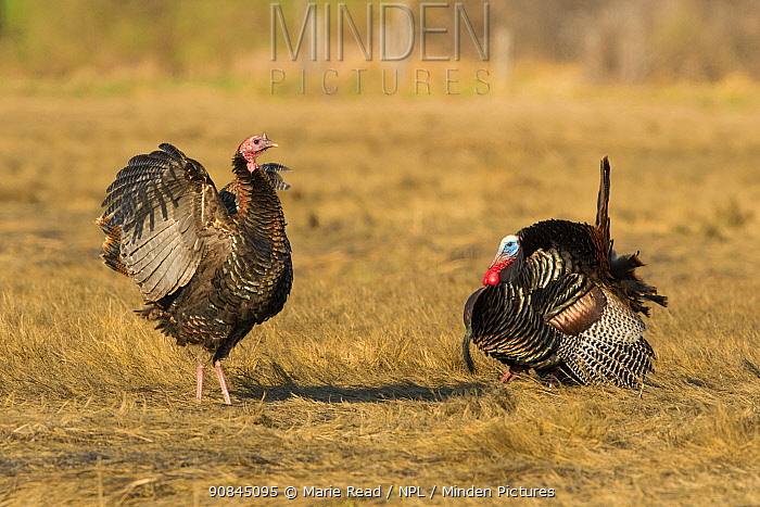 Wild turkeys (Meleagris gallopavo) female flapping wings while male performs strutting courtship display, Ipswich, Massachusetts, USA, April.
