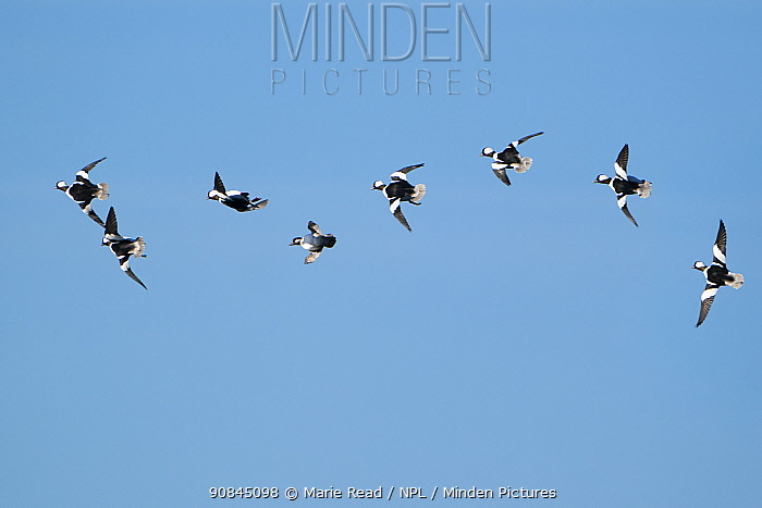 Buffleheads (Bucephala albeola), courtship flight in which several males chase a female (fourth from left) at high speed through the air, early spring, Aurora, New York, USA. Digitally manipulated rightmost bird moved slightly.