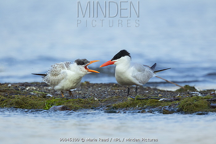 Caspian terns (Sterna caspia), juvenile (left) begging from adult in late summer, Cayuga Lake, Ithaca, New York, USA, August.