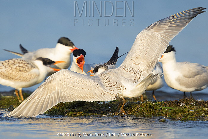 Caspian terns (Sterna caspia), aggressive interaction between adult (facing viewer) and juvenile, Cayuga Lake, Ithaca, New York, USA, August.