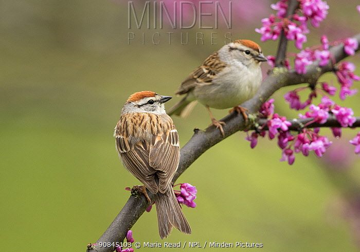 Chipping sparrows (Spizella passerina), pair perched in flowering eastern redbud in spring, New York, USA, May.