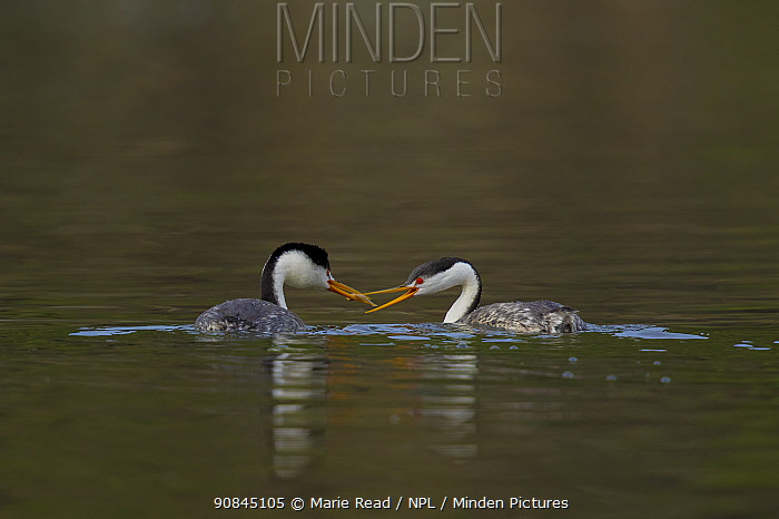 Clark's Grebes (Aechmophorus clarkii) pair, male feeding a fish to its mate, Escondido, California, USA. January.