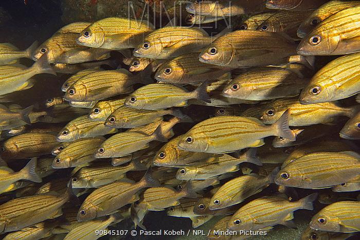 School of Striped grunters (Pomadasys striatus) Kwazulu-Natal, South Africa.