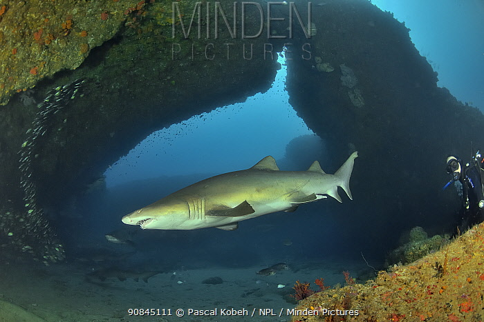 Sand tiger / grey nurse sharks (Carcharias taurus) on the reef of Aliwal shoal with a diver in the background, Kwazulu-Natal, South Africa