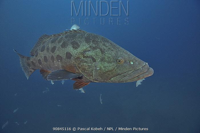 Potato cod (Epinephelus tukula) Kwazulu-Natal, South Africa