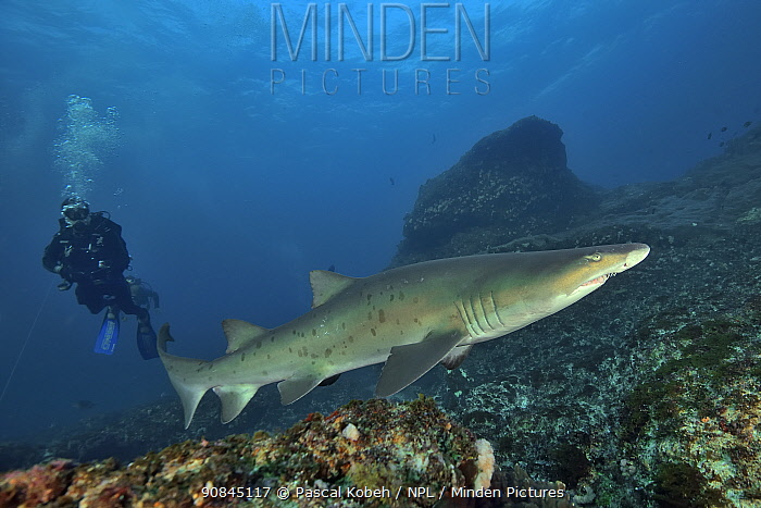 Sand tiger / Grey nurse shark (Carcharias taurus) on the reef of Aliwal shoal with a diver in the background. Kwazulu-Natal, South Africa