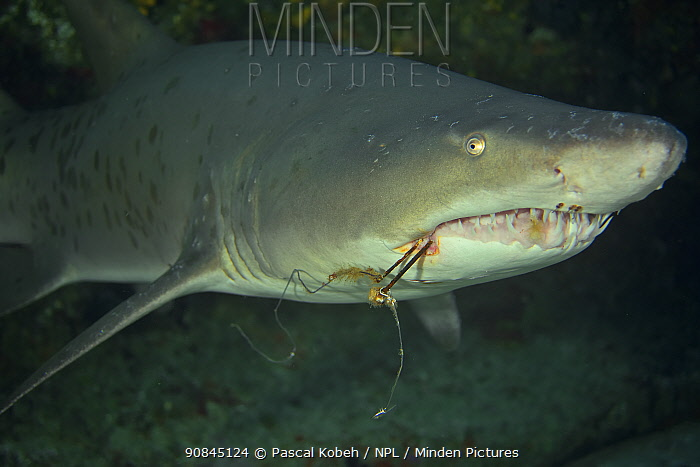Ragged tooth / Sand tiger shark (Carcharias taurus) with hook caught in mouth, Kwazulu-Natal, South Africa.