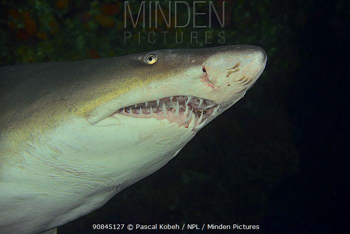 Ragged tooth / Sand tiger shark (Carcharias taurus) close up Kwazulu-Natal, South Africa.
