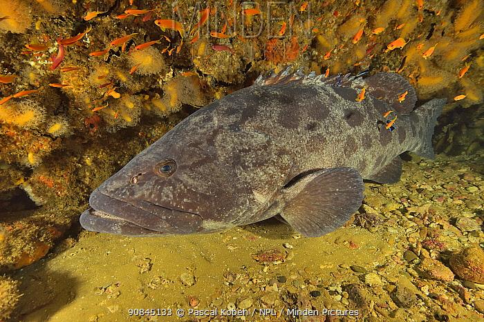 Potato cod (Epinephelus tukula) Kwazulu-Natal, South Africa.
