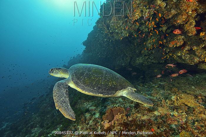 Green turtle (Chelonia mydas) on the reef, Kwazulu-Natal, South Africa.