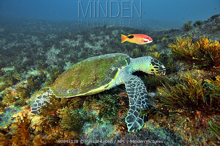 Green turtle (Chelonia mydas) feeding on the reef with a tarry or saddleback hogfish or blackspot wrasse (Bodianus bilunulatus) Kwazulu-Natal, South Africa.