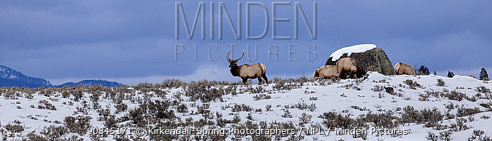 Elk (Cervus canadensis) in snowy landscape , Yellowstone National Park, USA. February.